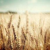Golden wheat field Wallpaper