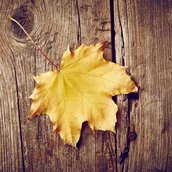Maple Wallpaper